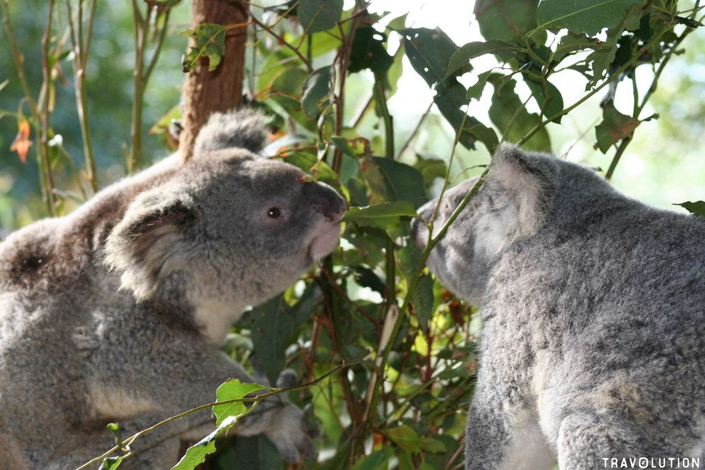 Perth Tourism Koalas in Tree | Alpha Airport Parking